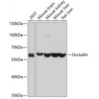 Occludin Rabbit Polyclonal Antibodies